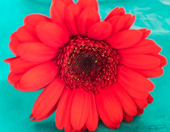 Red Gerbera Turquoise Background (athinaengland) Tags: red plant flower colour macro turquoise gerbera daisy macrophotography summerflower brightcolour transvaaldaisy redgerbera daisyflower daisyplant turquoisebackground sunshinecolour