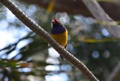 Gouldian Finch (careth@2012) Tags: nature wildlife finch gouldianfinch