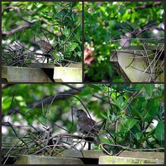"House Wren & Honeysuckle (""Just an ol' nature boy takin' a picture"") Tags: bird leaves animal leaf vine foliage honeysuckle pergola housewren"