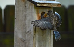 Yesterday before the fledge DSC_0003 (blthornburgh) Tags: nature birds tampa backyard florida bluebirds songbirds easternbluebirds thornburgh