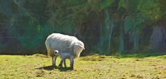 Got Milk Mum (Steve Taylor (Photography)) Tags: trees newzealand white fern green art field grass animal digital sheep farm mum nz lamb southisland westcoast gotmilk greymouth