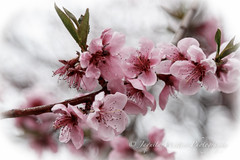 Pretty N Pink w-vinetting  IMG-8900 (Photographer / Artist) Tags: usa nature outdoors spring co crawford plumtrees