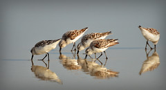 THERE'S ONE IN EVERY CROWD (Wolf Creek Carl) Tags: birds shorebirds shore animals beach outdoors ocean nature reflection florida ormondbeach flock ngc npc vividstriking platinumheartaward