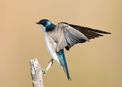Tree Swallow (KoolPix) Tags: bird nature animal wings branch beak feathers swallow nationalgeographic naturephotography treeswallow naturephotos amazingnature jayd naturephotographer mnsa fantasticnature animalphotographer marinenaturestudyarea koolpix jdiaz wonderfulbirdphotos jaydiaz jaydiaznaturephotographer wcswebsite