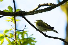 Wood Warbler (David in SK6) Tags: scotland woodwarbler