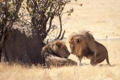 Etosha - Namibia (wietsej) Tags: reflex minolta sony lions 500 namibia etosha a700