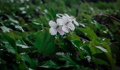 IMG_0495 (Nikan Likan) Tags: white paris flower color green field vintage lens 50mm prime purple blossom bokeh mount german m42 manual depth f28 own nicest schneider   xenar 2016 edixa i aesthetically kreuznarch