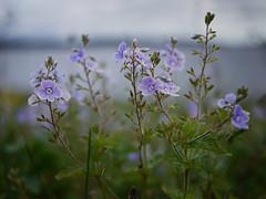 Blues (Pivi ) Tags: blue oslo norway island purple wildflower