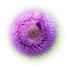 Purple Puffball (Linda Dyer Kennedy) Tags: pink flower catchycolors weed texas purple thistle cirsium texanum