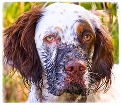 """Mud Puppy!"" (J Henry G) Tags: dogs bonnie englishsetter huntingdogs muddydogs johnhenrygremmer"