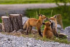 IMG_3955 red fox (starc283) Tags: nature canon outdoors outdoor wildlife fox kits redfox pedator foxkits starc283