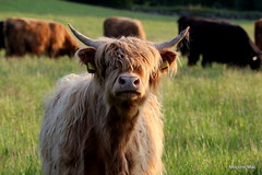 Inquisitive Highland Cow (mootzie) Tags: field scotlandaberdeen highland cows ginger black hairy horns scottish curly inquisitive