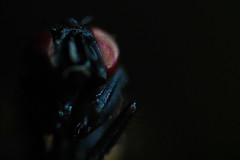 (fra_tsn) Tags: red black macro eye dark insect fly eyes insects occhi flies rosso occhio mosca insetto insetti