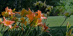 A Group of Beauty (BKHagar *Kim*) Tags: flowers flower nature yard al lily blossom alabama lilies bloom tanner limestonecounty bkhagar