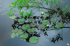 zen (Sandra Bartocha) Tags: lake water reflections pond waterlilies zen quiteness simplescenes sandrabartocha peacepul