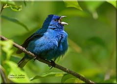 Song Sung Blue (Explored) (Windows to Nature) Tags: nikon 2016 indigobunting passerinacyanea bemiswoods springmigration windowstonature