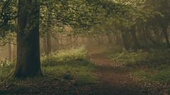 Canopy (Andy Parslow) Tags: light mist fog forest woodland landscape woods long exposure outdoor serene ashridge ivinghoe