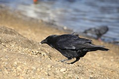 I love Crows (defblow) Tags: summer black nature birds feeding crow carrion plumage