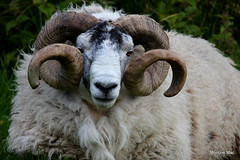 Horny Ram (mootzie) Tags: woollylewiswildlifeanimal ram tup croft ness horns curly woolly lewis scotland