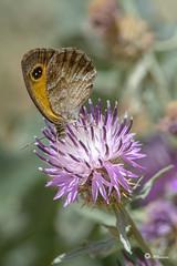 _VMG5652 (V.Maza) Tags: naturaleza flores insectos macro spain nikon catalunya mariposa reptiles badalona mariquita airelibre d7100 serraladademarina santjeronidelamurtra