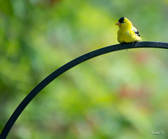 Observation  (T.ye) Tags: goldfinch bird animal wildlife outside outdoor framing tree plant yellow black bokeh deepofthefield    todd ye make male american