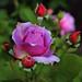 Sonnenberg Gardens & Mansion Historic Park ~ Canandaigua NY  ~ Rose