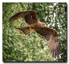 Red Kite 2 (jdl1963) Tags: red kite bird flying hawk flight trust conservancy