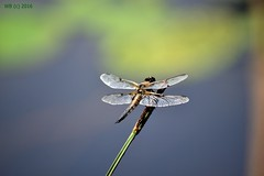 DSC_0251n wb (bwagnerfoto) Tags: macro animal closeup fauna insect nationalpark dragonfly llat libelle tier lobau donauauen szitakt dunaligetek