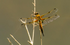 A Four Spotted Chaser Dragonfly (sarah.burns22) Tags: uk colour nature wings nikon wetlands marsh chaser