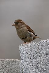 _F0A3056.jpg (Kico Lopez) Tags: birds rio spain aves galicia passerdomesticus lugo mio gorrincomn