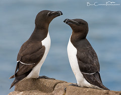 Razorbill pair (Billy Clapham) Tags: uk sea summer bird nature birds coast spring wildlife pair northumberland farneislands colony seabird razorbill alcatorda breedingseason wildlifephotography seabirdcity nikond7100 billyclapham