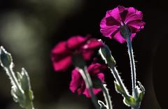Dans un rayon de lumire (mrieffly) Tags: lumirerasante contrejour canoneos50d 100400issriel pink