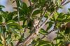 IMG_6791L4 (Sharad Medhavi) Tags: bird canonef100400mmf4556lisusm canoneod50d birdsandbeesoflakeshorehomes
