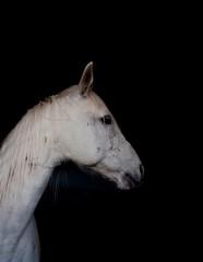 portrait (ana.gr.) Tags: portrait horse white blanco animal caballo whitehorse onblack caballoblanco