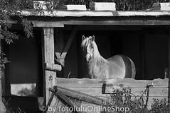 Hauspferd_Equus przewalskii caballus-298 (fotolulu2012) Tags: blackandwhite black animals schwarzweiss weiss schwarz tierfotos blackendwithe schwarzweissbilder avibase