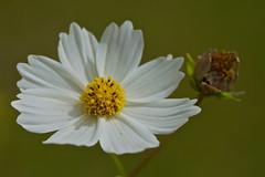 White cosmos (Deb Jones1) Tags: flowers white flower nature beauty canon garden botanical outdoors flora blooms cosmos flickrawards debjones1