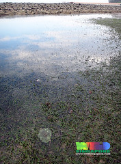 Oil-slicked Tanah Merah: Smooth ribbon seagrass (Cymodocea rotundata) (wildsingapore) Tags: nature island marine singapore underwater wildlife coastal shore intertidal seashore seagrass tanahmerah marinelife wildsingapore rotundata cymodocea