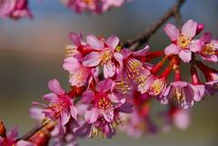 Branch of Spring for you!!! (ineedathis, the older I get, the more fun I have!) Tags: nikond80 springishereornamentalcherryblossomsspringnewseasonnatureflowerscherrypinkhpptbloomsstamensyellowbranch
