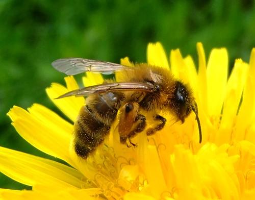 Honey bee on a dandelion, Sandy, Bedford by orangeaurochs, on Flickr