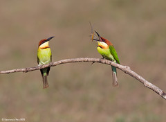 Chestnut-headed Bee-eater (Merops leschenaulti) @ Khao Yai National Park, Thailand_20120312_0701 (LawrenceNeo) Tags: chestnutheadedbeeeater