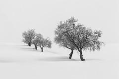 White carpet II (Antonio Carrillo (Ancalop)) Tags: trees espaa white snow blanco fog canon de landscape arbol la spain san europa europe juan mark nieve foggy paisaje murcia cruz ii campo l 5d lopez antonio niebla carrillo 70200mm caravaca moratalla ancalop