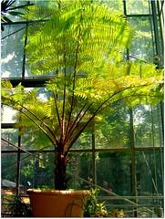Tree fern (CameliaTWU) Tags: greenhouse pottedplant romania botanicalgardens treefern clujnapoca