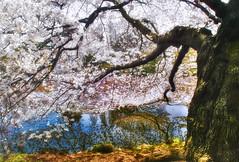 OLD SAKURA TREE (ajpscs) Tags: flower japan japanese tokyo spring nikon shinjuku   sakura nippon   d100   hdr highdynamicrange hanami shinjukugyoen haru     photomatix  ajpscs shinjukugyoennationalgarden flickraward tokyohdr flickraward5 oldsakuratree