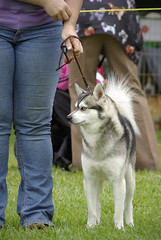 Jordan (Alexandra Kimbrough) Tags: show california dog miniature husky mini front kai nordic claremont northern klee alaskan ukc conformation akk
