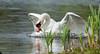DSC_9929.jpg (Ingeborg Ruyken) Tags: april 2012 naturephotography zwaan empel natuurfotografie specanimal eendenbroodvoeren