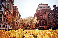 Spring on Park Avenue - Upper East Side - New York City (Vivienne Gucwa) Tags: city nyc newyorkcity architecture spring tulips manhattan urbannature cherryblossoms gothamist curbed uppereastside parkavenue nycarchitecture yellowtulips wnyc nycphoto cityphoto newyorkphoto nycphotography cherryblossomsnyc springnyc viviennegucwa viviennegucwaphotography springparkavenue uppereastsidearchitecture uppereastsidecherryblossoms tulipsalongparkavenue