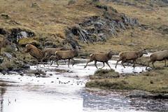 Red Deer Stags (Ally.Kemp) Tags: red wild scotland stag dam scottish glen deer loch invernessshire mullardoch cannich