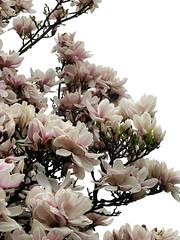 Preis sei Christo, der erstanden (amras_de) Tags: primavera spring jar magnolia prima lente printemps vor tavasz ver frühling ware vår jaro wiosna forår kevad magnolie primavara pavasaris kevät udaberri magnolio magnólia ilkbahar manolya proljece printempo earrach pomlad liliomfa magnolija magnoliasläktet magnoliat šácholan magnoliaslekten fréijoer