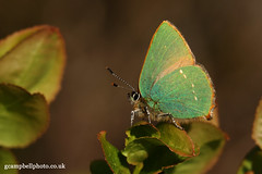 Green Hairstreak (gcampbellphoto) Tags: macro green nature butterfly insect wildlife northernireland hairstreak ballycastle coantrim greenhairstreak irishwildlife gcampbellphotocouk