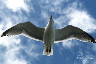 Wingspan Gull